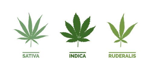 Cannabis-Sorten Sativa, Indica und Ruderalis