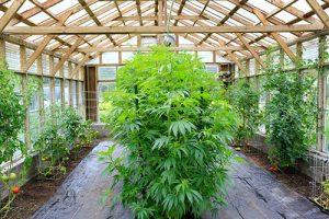 Ist der Anbau von Cannabis in Deutschland erlaubt?
