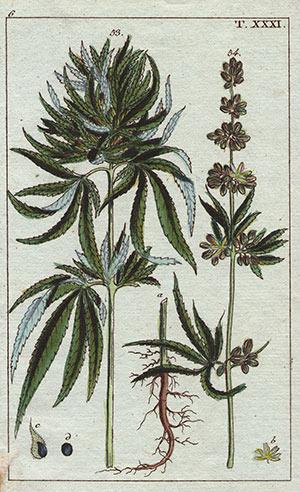 Cannabis einer der ältesten Kulturpflanzen